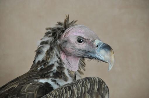 lappet-faced-vulture