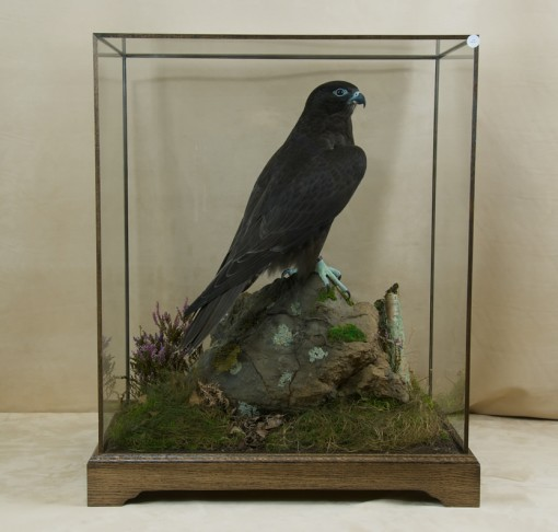 taxidermy Gyrfalcons (Falco rusticolus) cased