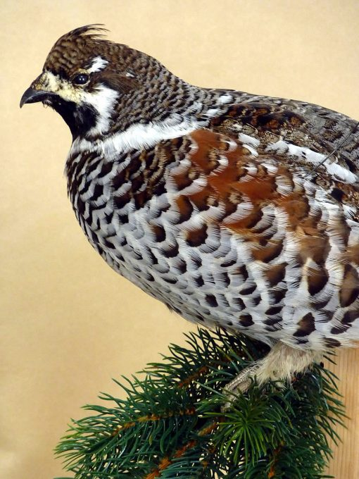 Hazel Grouse - taxidermy -Tetrastes bonasia cp