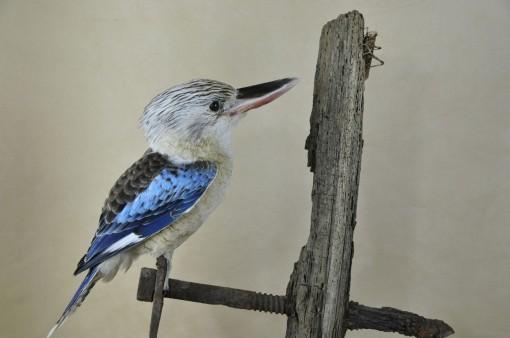 Kookaburra taxidermy 3