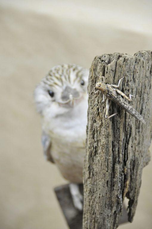 Kookaburra taxidermy 4