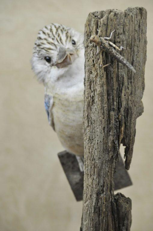 Kookaburra taxidermy 9