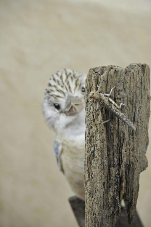 Kookaburra taxidermy 11