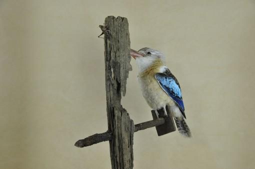 Kookaburra taxidermy 13