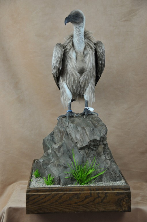 frican White-backed Vulture taxidermy mount