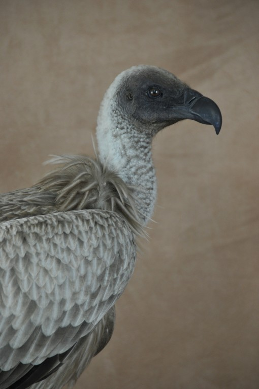 White-backed Vulture (Gyps africanus) taxidermy head