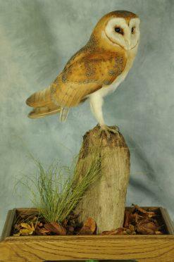 taxidermy Barn Owl (Tyto alba)