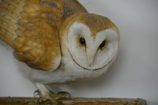 Close up of Barn Owl Bird Taxidermy head