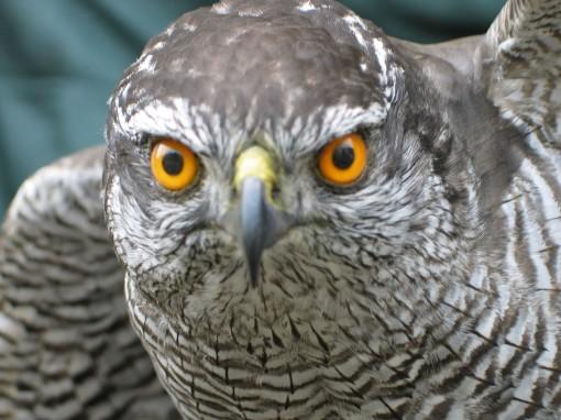 Northern Goshawk, Accipiter gentilis Head front Taxidermy