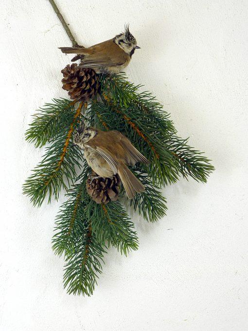 a Crested TiT Bird Taxidermy