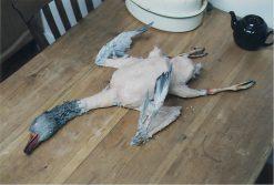 Dead Goose Taxidermy Mount