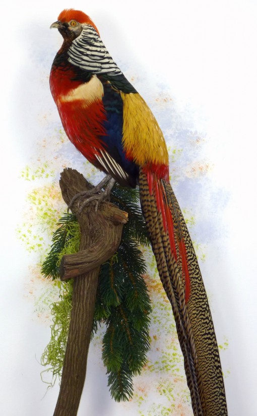 taxidermy Golden Pheasant and Lady Amherst's wall mount
