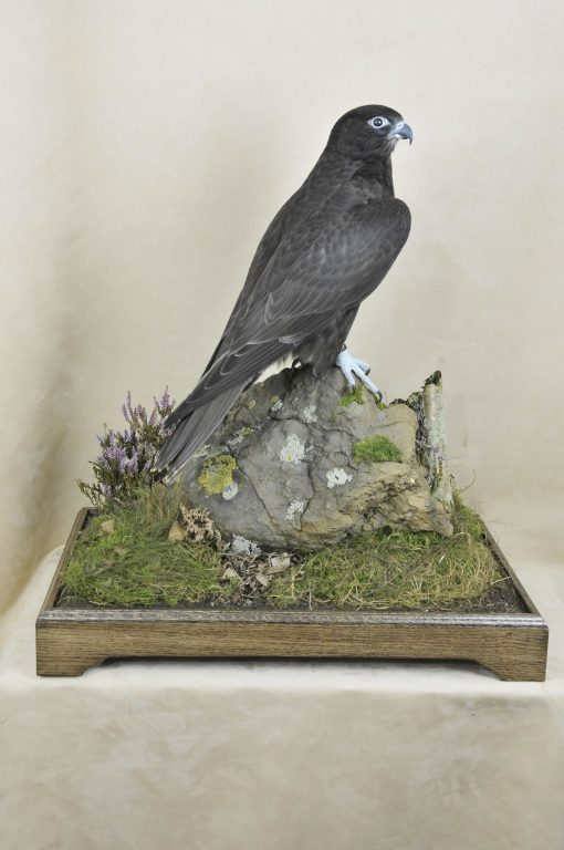 taxidermy Gyrfalcons (Falco rusticolus) case