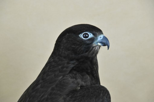 taxidermy Gyrfalcons (Falco rusticolus) head