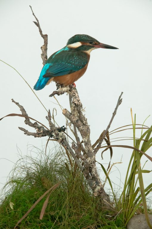 Taxidermy Kingfisher