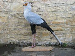 Secretary_Bird-taxidermy
