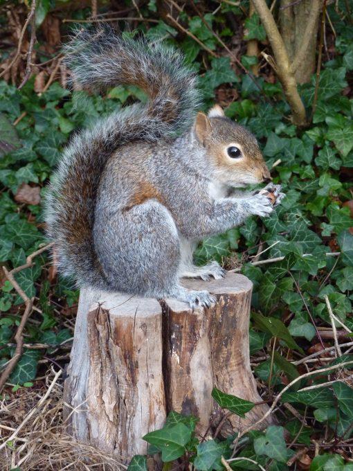 close up Grey Squirrel Taxidermy