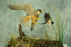 Bird Taxidermy Hobby Falcon winner 2013 side