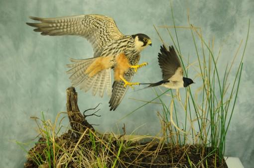 Bird Taxidermy Hobby Falcon winner 2013 side