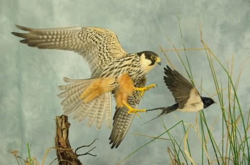 Bird Taxidermy Hobby Falcon winner 2013 side2