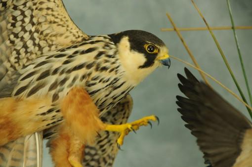 Bird Taxidermy Hobby Falcon winner 2013 closup