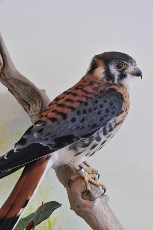 taxidermy American kestrel Falco sparverius 3