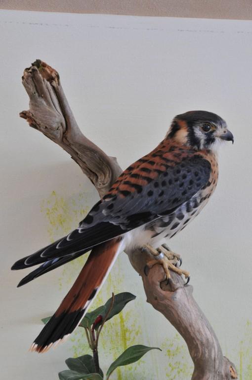 taxidermy American kestrel Falco sparverius 2