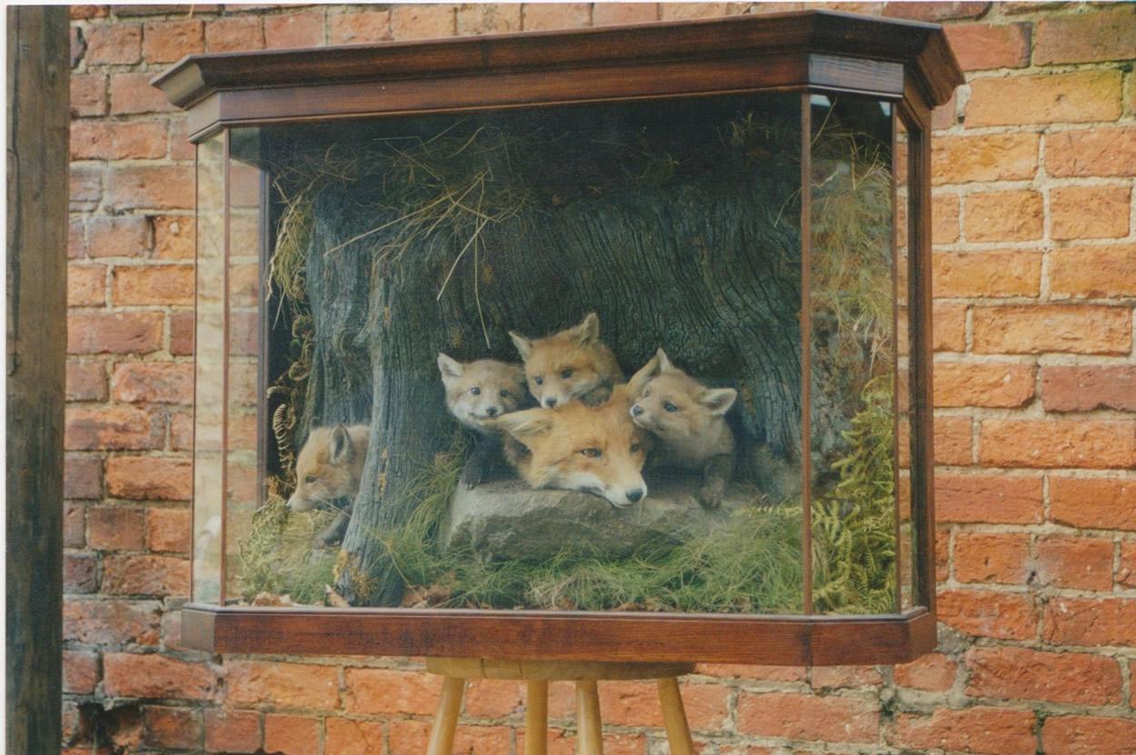 Fox Cubs And Vixen Uk Bird Small Mammal Taxidermist Mike