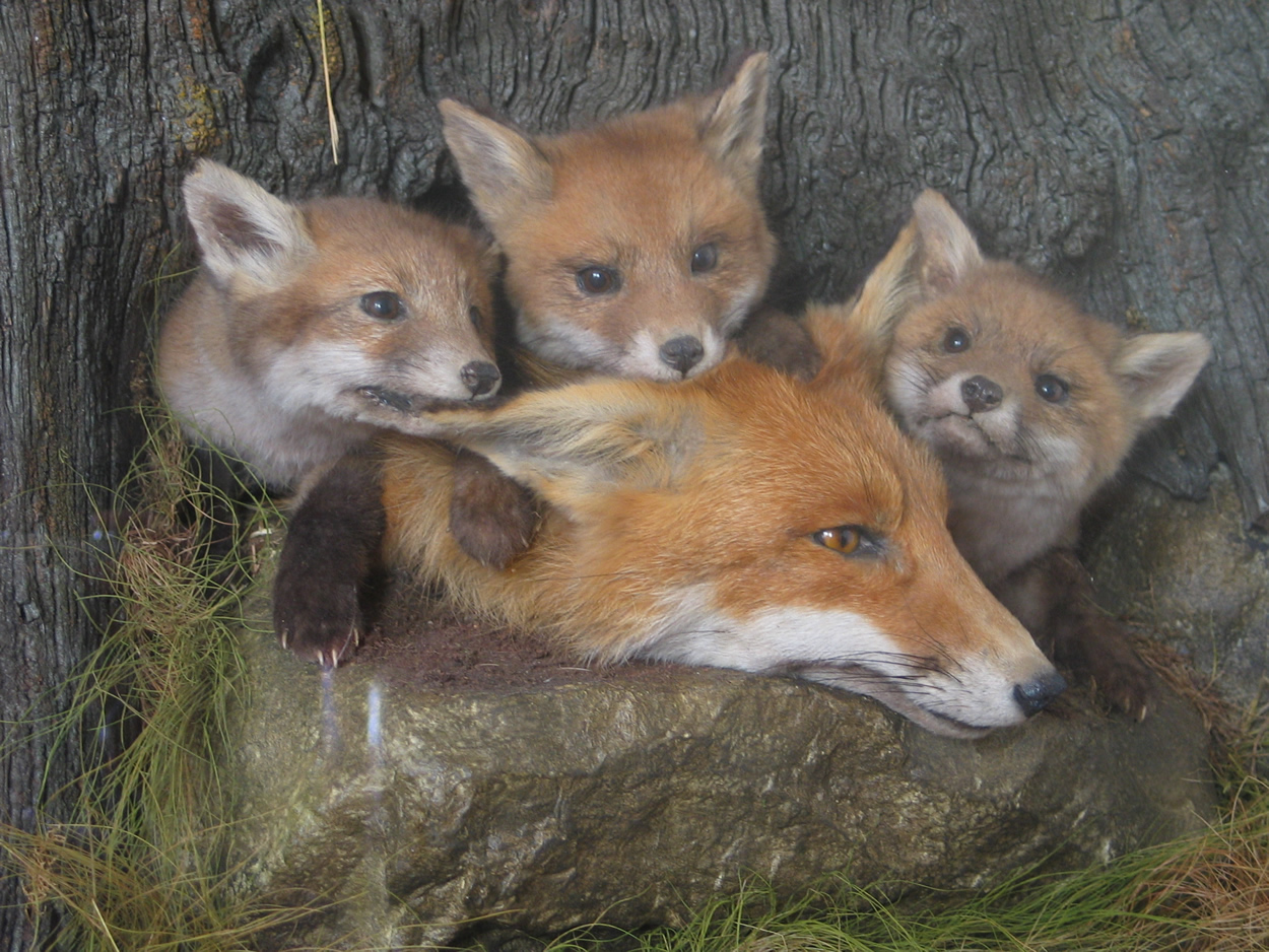 Fox Cubs And Vixen Uk Bird Small Mammal Taxidermist Mike