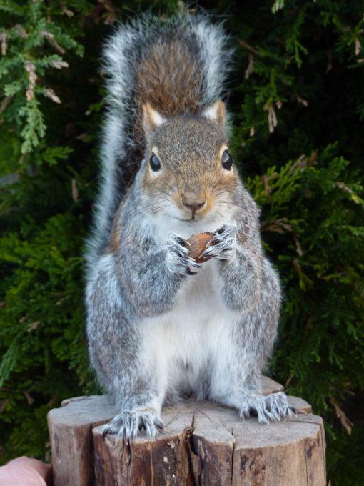 Grey Squirrel Taxidermy front