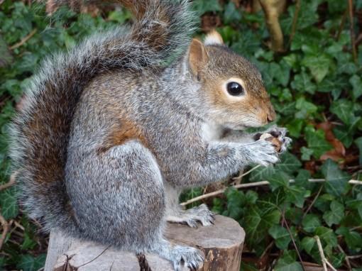 Grey Squirrel Taxidermy closeup