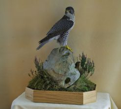 Taxidermy Gyrfalcon 8386 winner