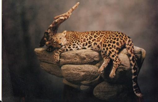 Taxidermy Leopard on rock