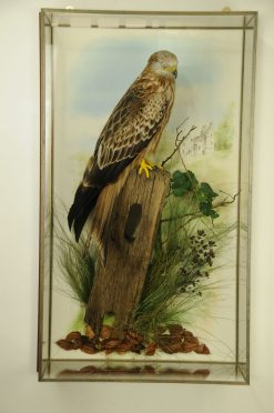 Taxidermy Red Kite cased
