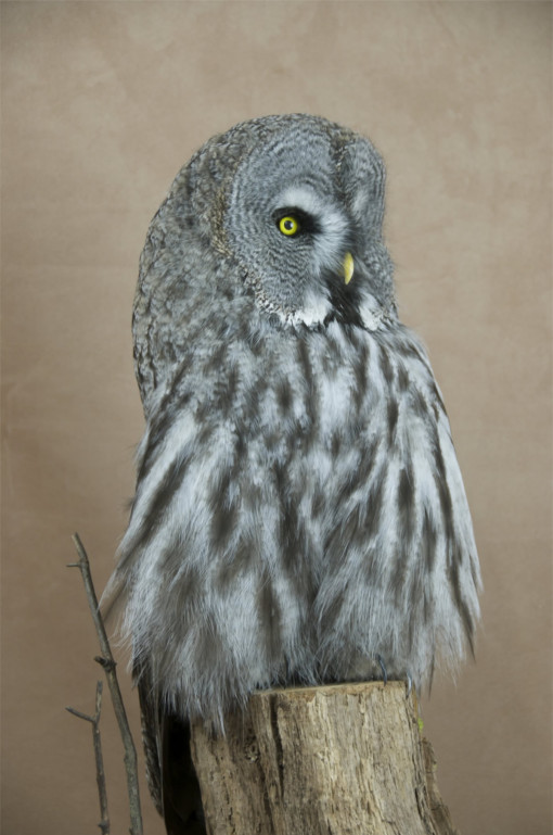 Taxidermy Great Grey Owl - Strix nebulosa close up of head
