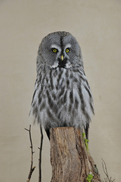 Bird Taxidermy Great Grey Owl - Strix nebulosa By Mike Gadd