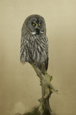 Taxidermy Great Grey Owl - Strix nebulosa front