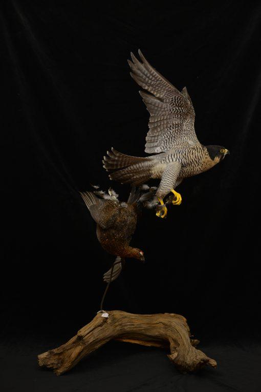 Peregrine Falcon - falco peregrinus Bird Taxidermy 22