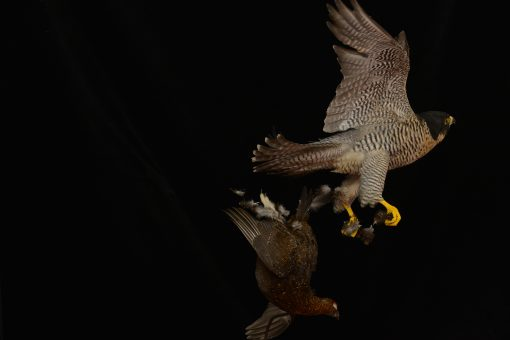 Peregrine Falcon - falco peregrinus Bird Taxidermy 20