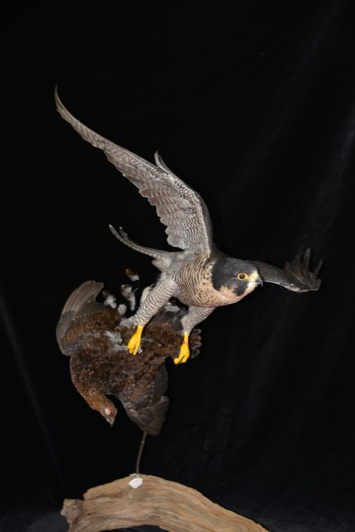 Peregrine Falcon - falco peregrinus Bird Taxidermy 19