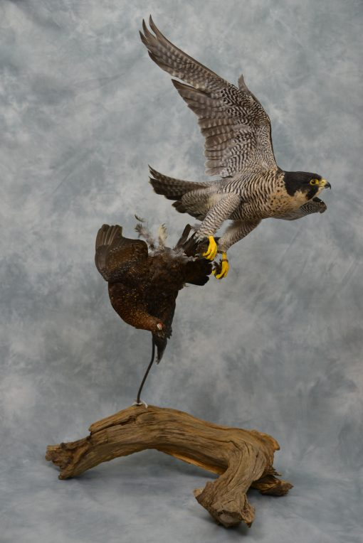 Peregrine Falcon catching Red Grouse
