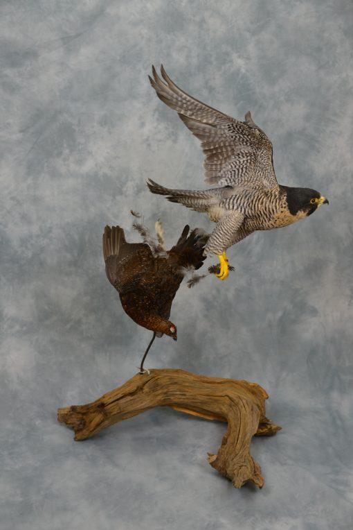 Peregrine Falcon - falco peregrinus Bird Taxidermy 16