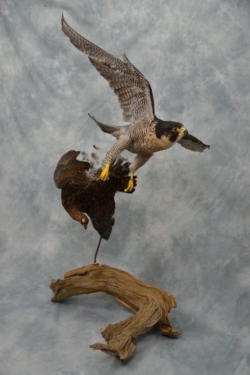 Peregrine Falcon - falco peregrinus Bird Taxidermy 15