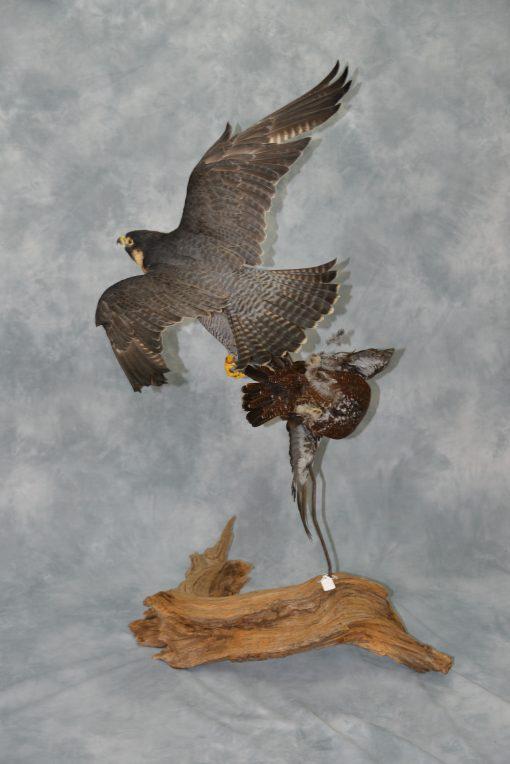 Peregrine Falcon - falco peregrinus Bird Taxidermy 10