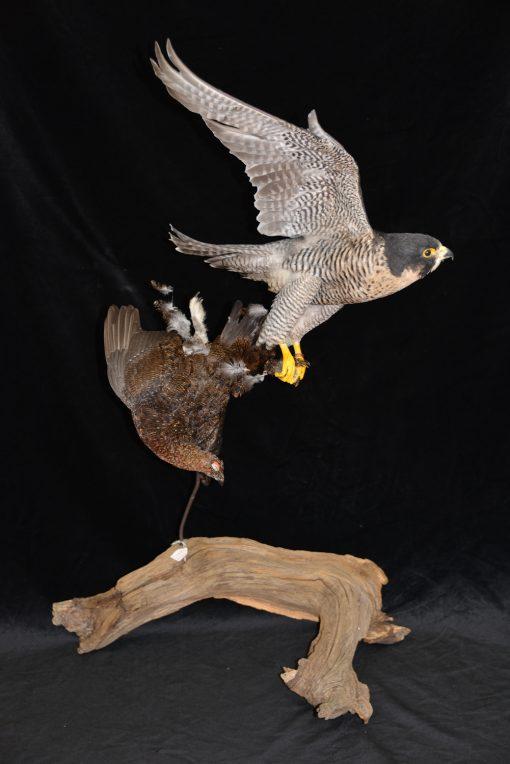 Peregrine Falcon - falco peregrinus Bird Taxidermy 4
