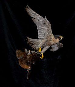Peregrine Falcon - falco peregrinus Bird Taxidermy 3