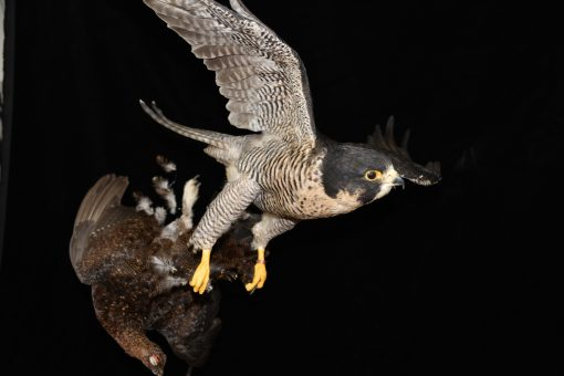 Peregrine Falcon - falco peregrinus Bird Taxidermy