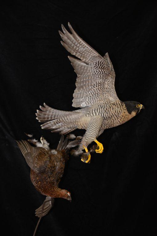 Peregrine Falcon - falco peregrinus Bird Taxidermy 25