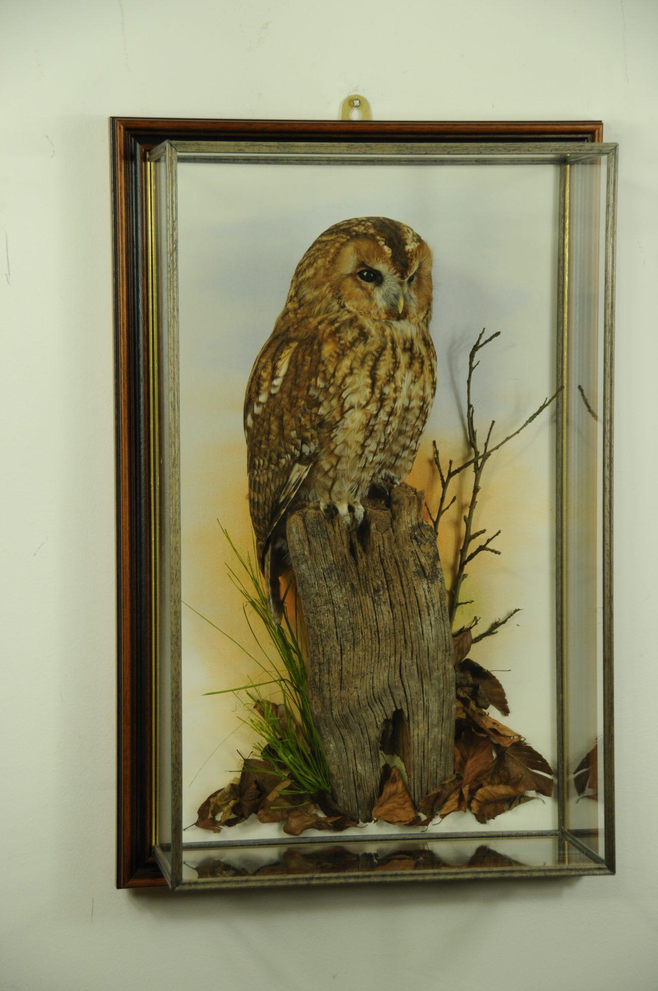 Tawny Owl Taxidermy