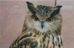 Eagle Owl - Bubo bubo Taxidermy UK